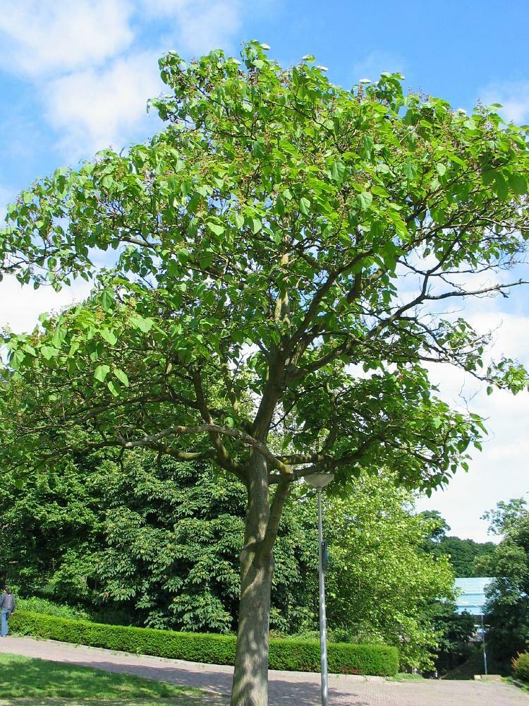 Császárfa utcafronti fa