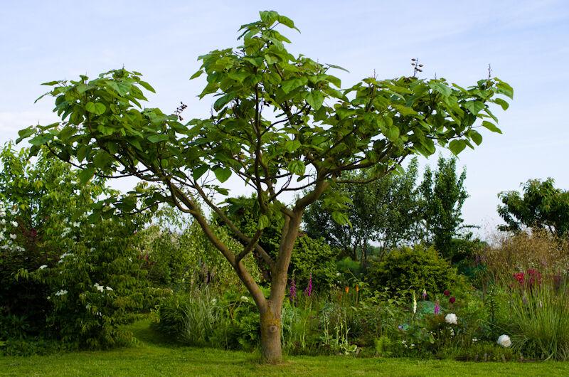 Császárfa vásárlás a Megyeri kertészetből