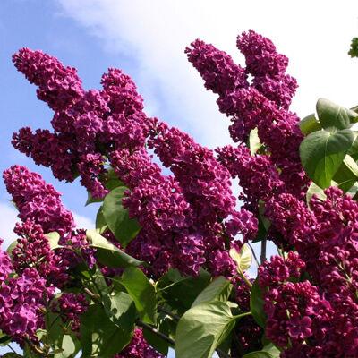 A különleges bíborpiros színben nyíló virágzat