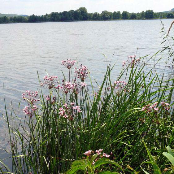 A virágkáka elengedhetetlen eleme egy kerti tónak