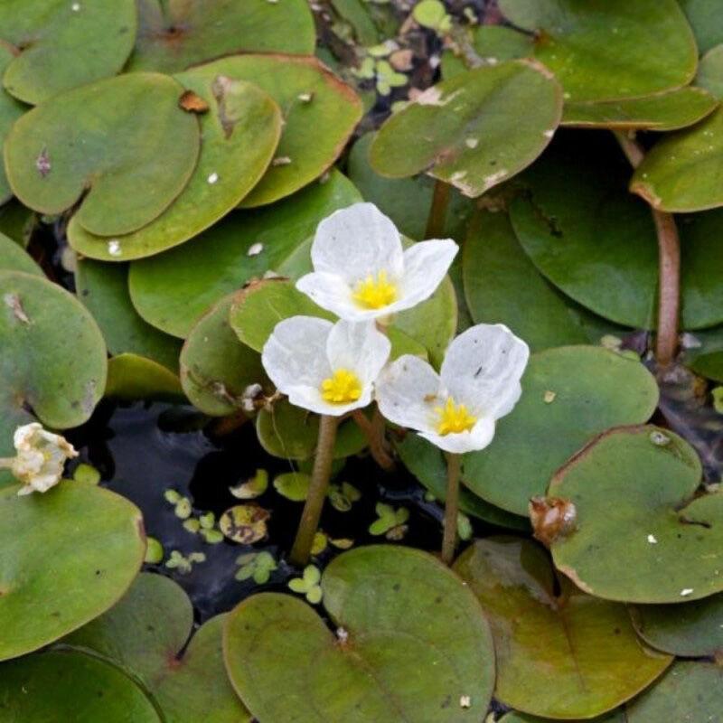 A meséket idéző Békatutaj levélzete és virágai