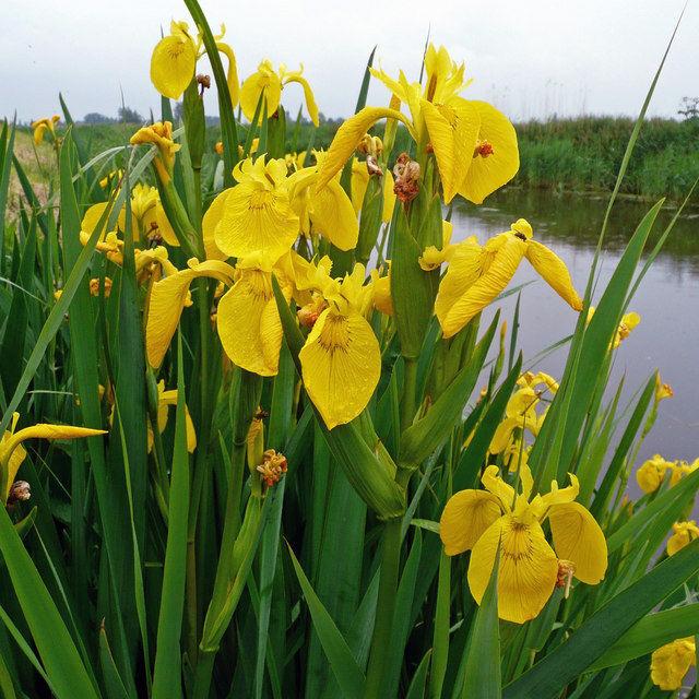 A sárga mocsári nőszirom üde színfoltot képez a kerti tó partján