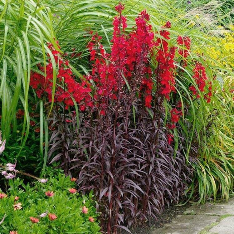 A piros virágú mocsári lobélia virágfüzérei