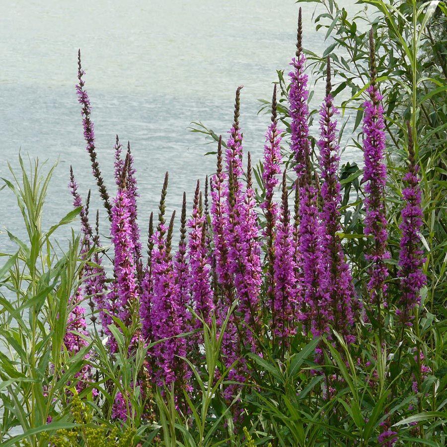 Vízpartok dekoratív virágos évelője a Réti füzény