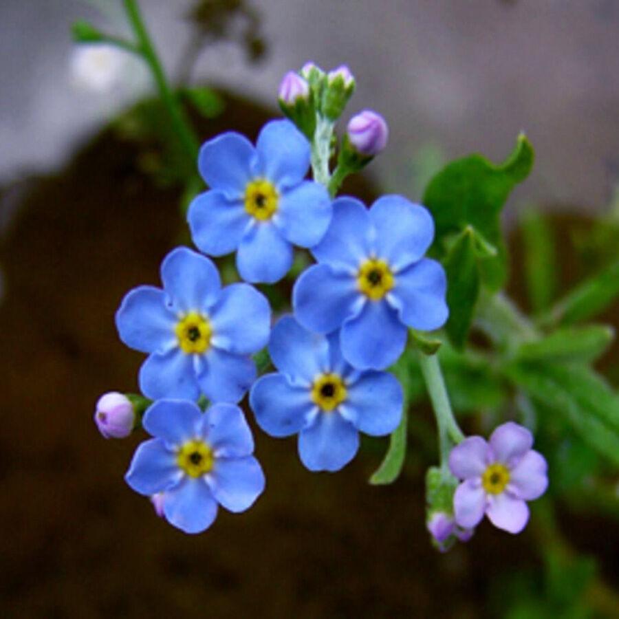 A Mocsári nefelejcs kedves kék virágcsokra