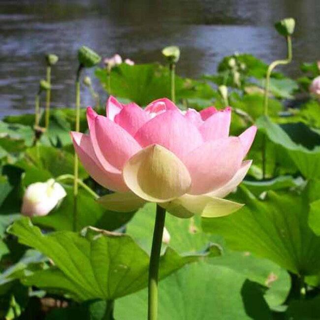 A buddhizmus egyik fő jelképe a Lótusz