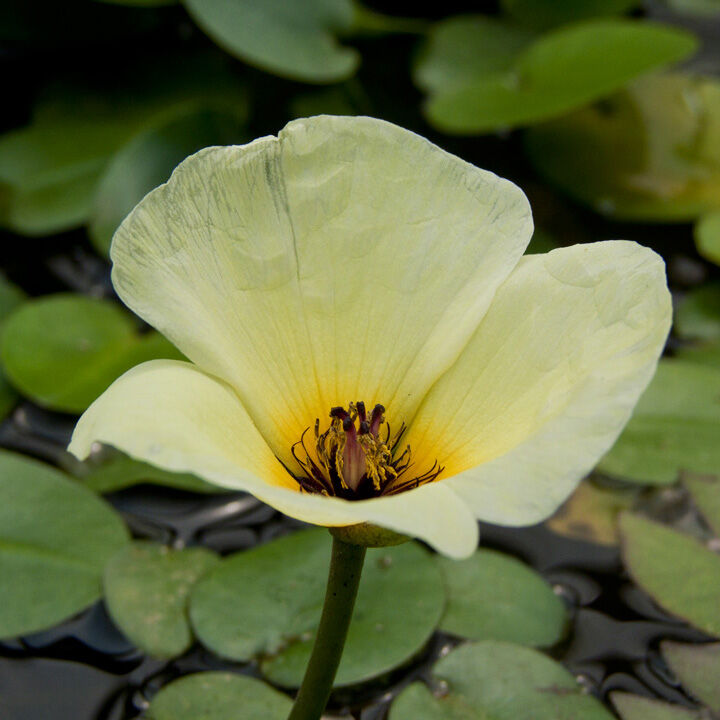 A Tündérfátyol vízfelszín fölé magasodó tölcséres virága