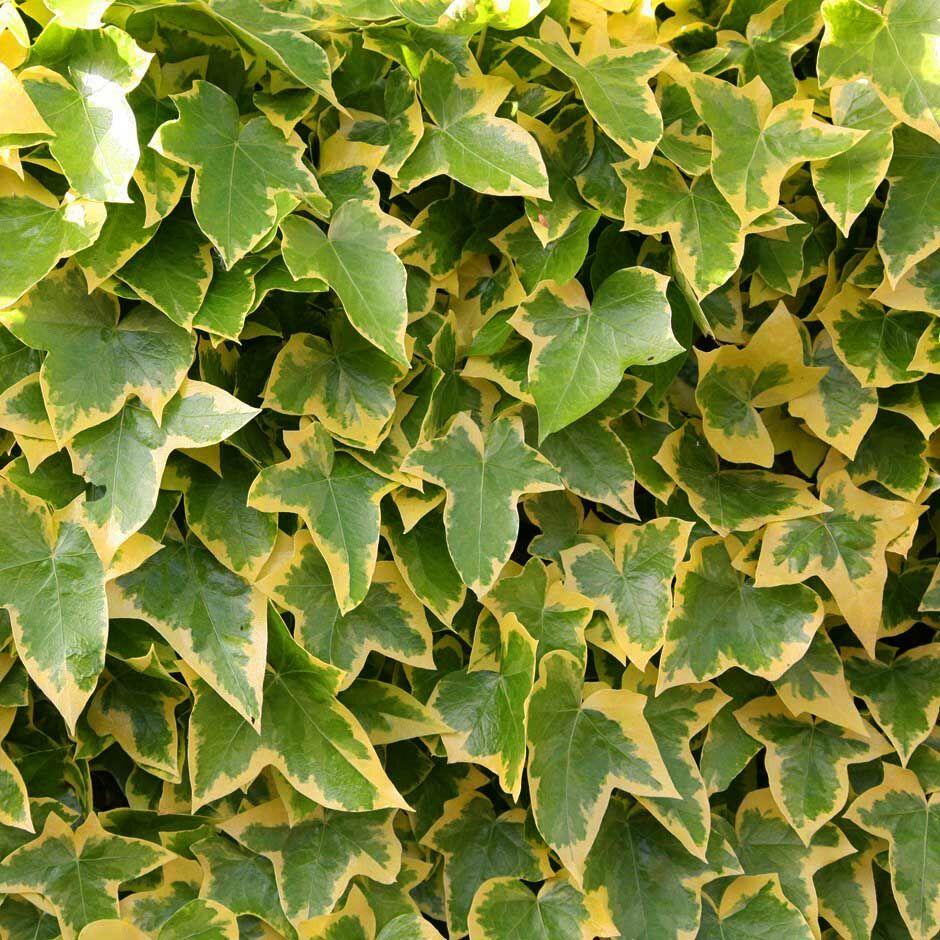 Színes és vidám zöld falad képez a borostyán