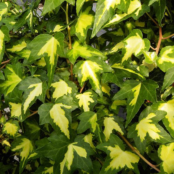 A tarka levelű borostyán örökzöld színfolt
