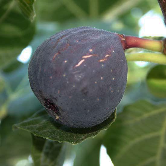 Az érett füge ínycsiklandó gyümölcsként hívogat