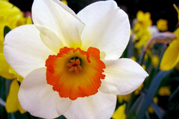 A csodaszép nárcisz a tavaszi hagymás ágyás éke