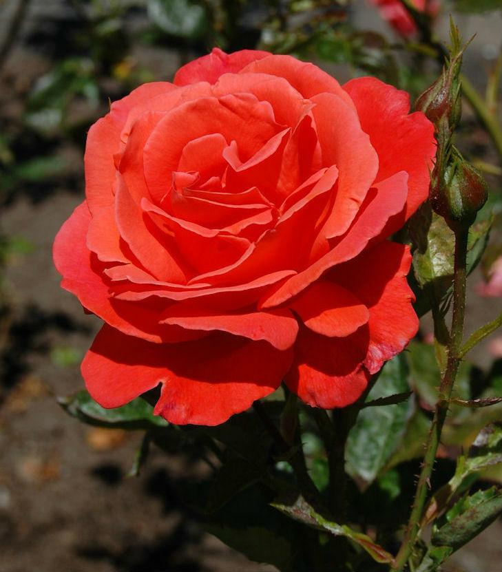 Alexander rózsa virága
