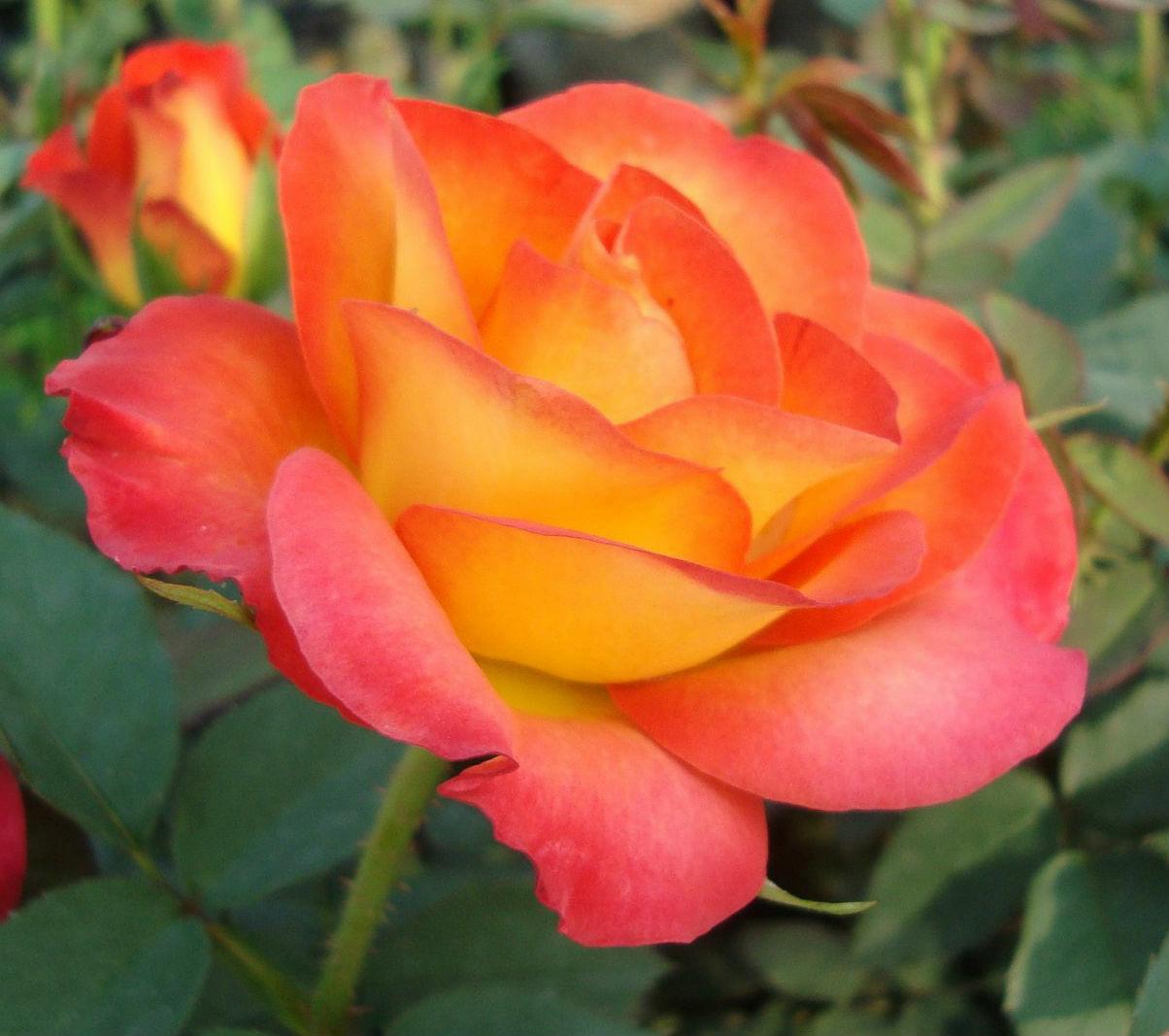 Rózsák szakszerű gondozása