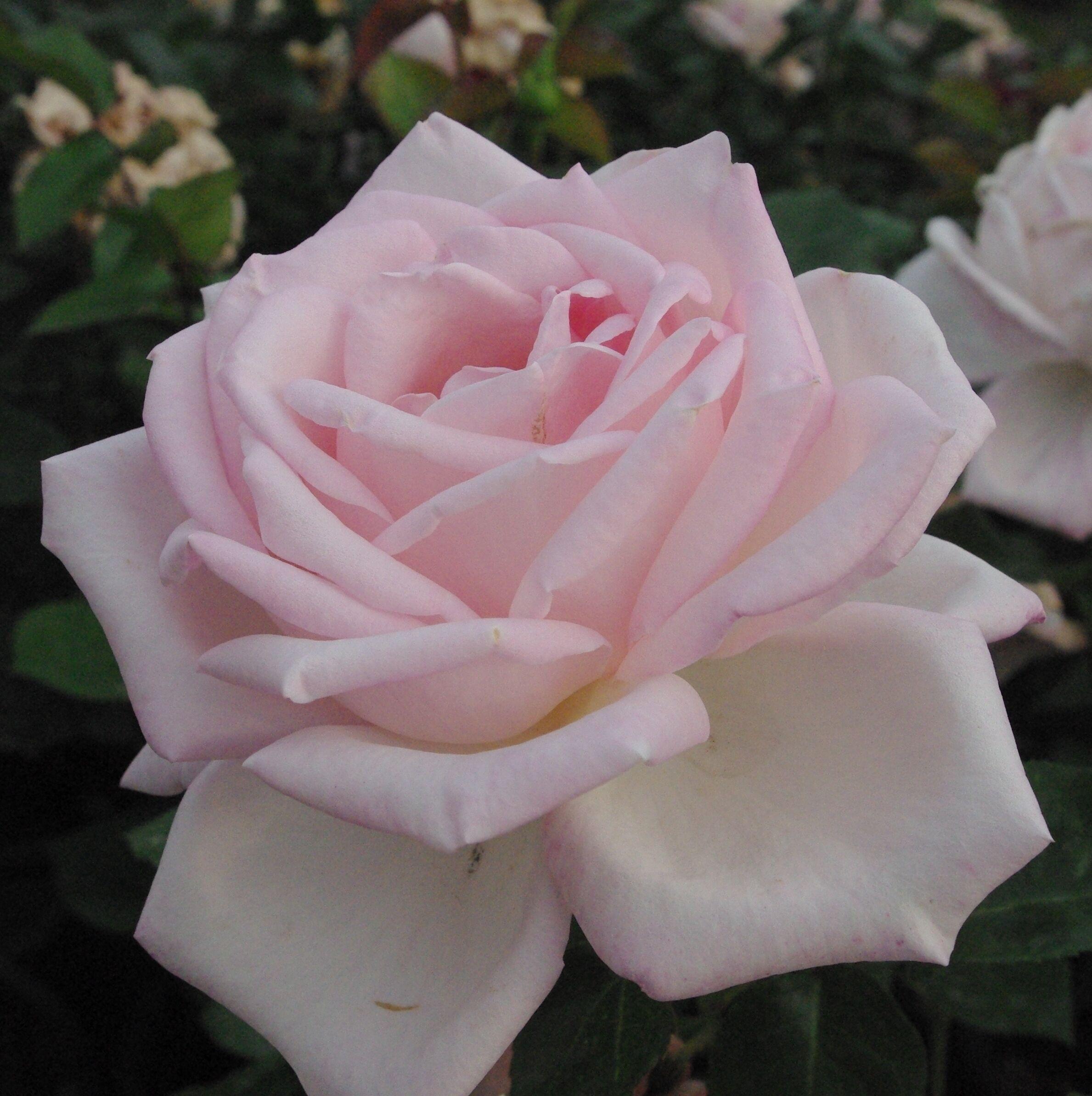 Rosa Königliche Hoheit bokorrózsa kibomló virága