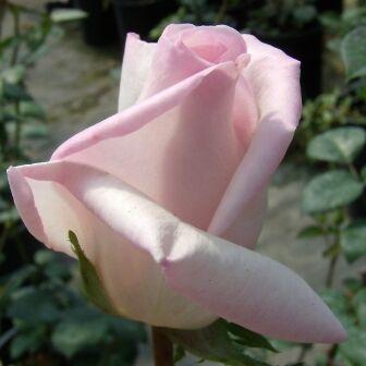 Rosa Königliche Hoheit bokorrózsa szirmai