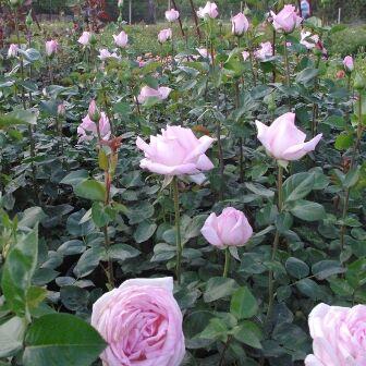 Rosa Königliche Hoheit bokorrózsa ágyás