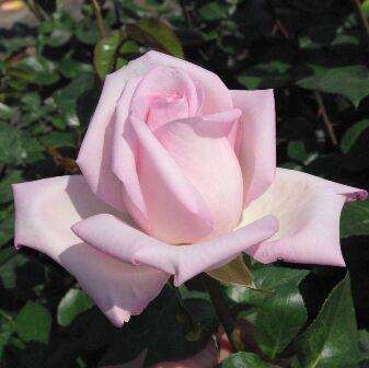Rosa Königliche Hoheit bokorrózsa közelről