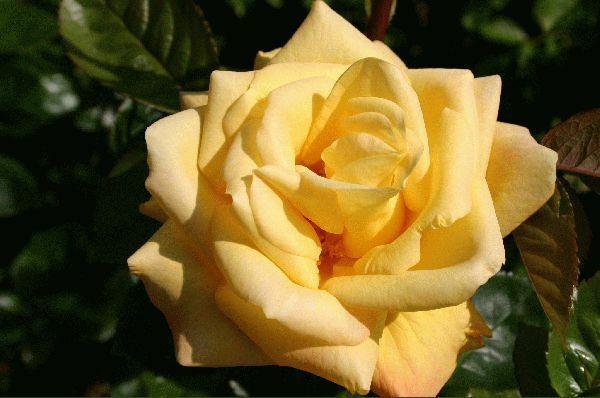 Rosa Golden Showers futórózsa virága közelről