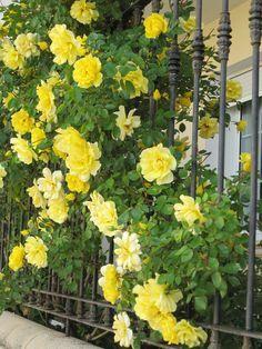 Rosa Golden Showers futórózsa a kerítésnél