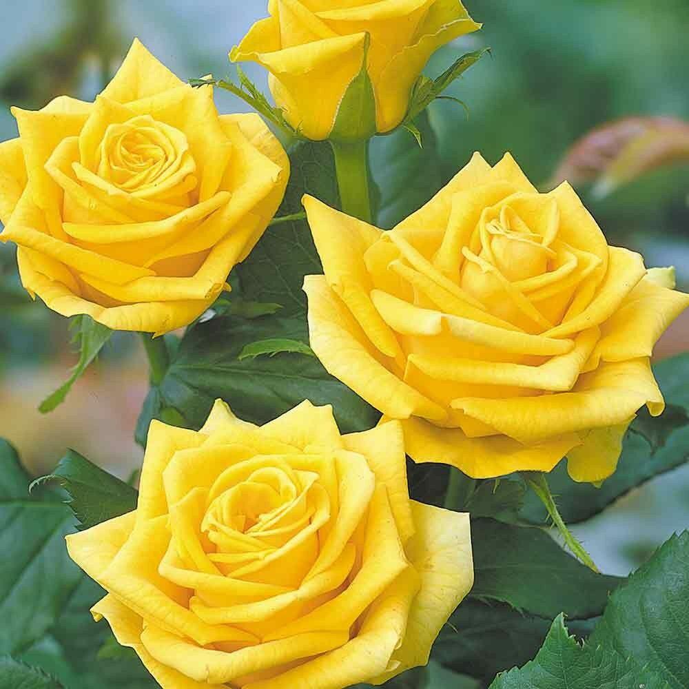Rosa Golden Showers futórózsa virágai