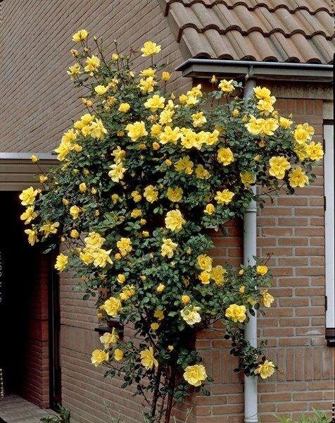A Rosa Golden Showers futórózsa kiemelkedően szép