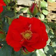A Rosa Fred Loads élénkpiros virágba borulva
