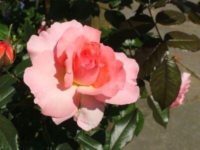Rosa Sorbet Pink rózsaszín ágyás rózsa virága