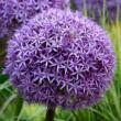 Allium 'Globemaster' - Díszhagyma