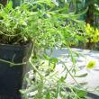Alyssum montanum 'Berggold' - Hegyi ternye