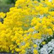 Alyssum saxatile 'Gold Cushion' (Aurinia saxatilis) - Szirti ternye