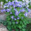 Aquilegia flabellata 'Cameo Blue and White' - Japán harangláb (kék-fehér)