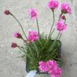 Armeria maritima 'Rubrifolia' - Tengerparti pázsitszegfű (rózsaszín) (2 literes)