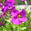 Aubrieta hybrida 'Axcent Dark Red' - Sötétpiros kerti pázsitviola