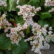 Bergenia 'Bressingham White' - Hófehér bőrlevél