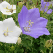 Campanula carpatica 'Blaue Clips' - Kárpáti harangvirág (sötét kék)