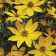 Coreopsis verticillata 'Golden Gain' - Keskenylevelű menyecskeszem (sárga)