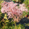 Filipendula rubra 'Venusta' - Magas legyezőfű