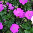 Geranium sanguineum 'Max Frei' - Ciklámen színű alacsony gólyaorr