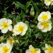 Helianthemum 'Cornish Cream' - Napszem (halványsárga sötét szemmel)