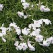 Phlox subulata 'Amazing Grace' - Árlevelű lángvirág (fehér, piros szemmel)