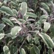 Salvia officinalis 'Tricolor' - Orvosi zsálya