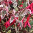 Fuchsia 'Tom West' – Fukszia