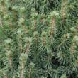 Picea glauca 'Conica' - Cukorsüvegfenyő (konténeres)