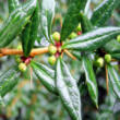 Berberis x frikatii 'Amstelveen' – Zöld levelű borbolya