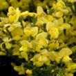 Cytisus praecox 'Allgold' – Zanót (sötétsárga)