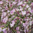 Cytisus scoparius 'Moyclare Pink' – Zanót (halvány rózsaszín)
