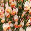 Cytisus scoparius 'Zeelandia' – Zanót (lilás-rózsaszín)