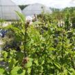 Deutzia x hybrida 'Strawberry Fields' – Sötét rózsaszín virágú gyöngyvirágcserje