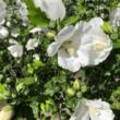 Hibiscus syriacus 'Diana' – Fehér virágú mályvacserje