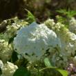 Hydrangea arborescens 'Strong Annabelle' – Fehér gömb virágú cserjés hortenzia